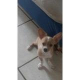 Cachorro Chihuahua 100% Puro (padres Pelo Corto Y Largo)