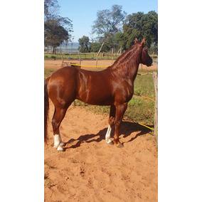 Vendo Cavalo Castrado Quarto De Milha