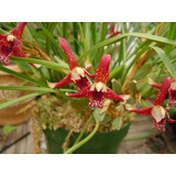 Mudas De Orquidea Maxillaria Tenuifolia - Muito Perfumada!