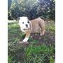Bulldog Ingles Cargadora Tricolor Excelente Arruga Hermosa
