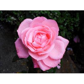 1 Rosa Gigante Mudas Pronta Para Ser Plantadas