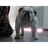 Bulldog Ingles Importado De Chile Hijo De Gran Camp. America