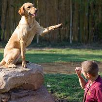Labrador Curso Adestramento Video Aulas Frete Gratis