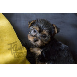 Yorkshire Terrier Hembra - Fotos Reales - Family