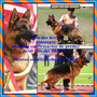 Criadero Cachorros Ovejeros Alemán Con Pedigre Poa