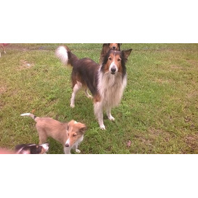 Cachorro Collie 3 1/2 Meses