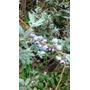 Arandano E04 (vaccinium Corymbosum). Enviós