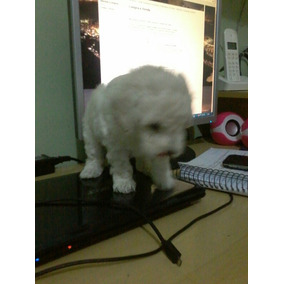 Vendo Filhotes De Poodle Micro Toy À Pronta Entrega