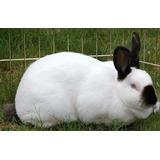 Conejos Reproductores Californianos