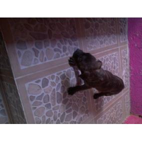Cachorros Bull Terri En Venta 1500$
