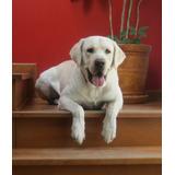 Labrador Busca Hembra Labrador Para Cruce