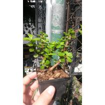 Plantas Mini Arbol De La Abundancia, Solo Mayoreo