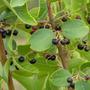 Planta Maqui De 20 Cm. La Fruta Con Mas Antioxidantes