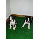 Boston Terrier Disponibles Para La Venta En Medellin