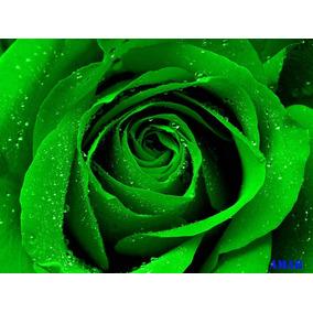 15 Sementes De Rosas Verde Raras Exóticas Pra Fazer Mudas