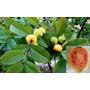 Arbol Frutal / Guayabo Brasilero (psidium Guajava)