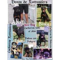 Venta De Cachorros Rottwailers.