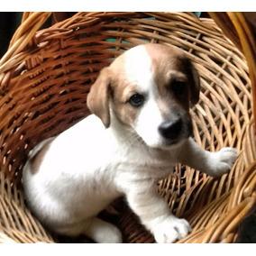 Jack Russell Terrier Pedigree Fca Gtia Sanidad Y Carácter!