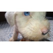 Sheepdog Femea