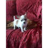 Cachorro Chihuahua Toy 100% Raza Pura