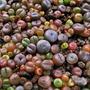 Lithops - Plantas Piedras - Cactus - Semillas Para Plantar