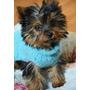 Cachorras Yorkshire Terrier Mini Hembras C/ Pedigree Fca