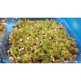 Sphagnum Moss Vivo, Charolita De 10x10cm
