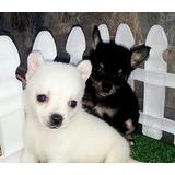 Vendo Chihuahua Pelo Corto Cachorros Largo Mini Manzana