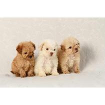 Cachorros Caniche Míni Micro Toy Hembras Y Machos