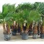 Hermosas Palmeras, Washingtonia, Phoenix, Trachycarpus