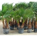 Hermosas Palmeras,washingtonia, Phoenix,trachycarpus, Kentia