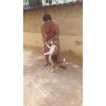 Filhotes De Beagle Macho Para Cruza & Inseminaçäo