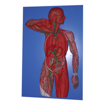 Modelo Anatomico De Sistema Linfatico, Tabla Enseñanza