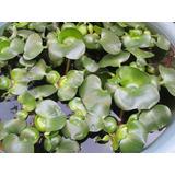 Planta Jacinto De Agua Eichhornia Crassipes