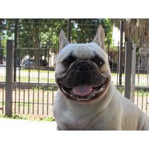 Bulldog Francés Fawn Para Servicio