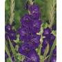 Palma De Santa Rita - Gladíolo - Cor Purpura - 10 Bulbos
