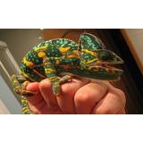Camaleon Calyptratus. Reptil Real. Crias De Cautiverio.