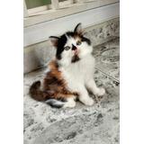 Gatos Angora Turco