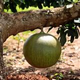 Mudas De Coité Ou Cuieté, Árvore De Cuia - Crescentia Cujete