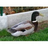 Patos Rouen Machos