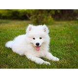 Espectaculares Cachorritos Samoyedo,100% Puros Con Garantía!