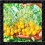 Tomate Uva Amarelo - Cereja Sweet Grape Sementes Para Mudas
