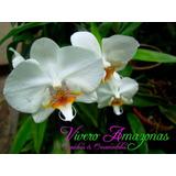 Orquídeas Phalaenopsis, Catleyas, Dendrobium Y Mas.