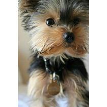 Hermosos Cachorros Yorkshire Terrier, Yorkie, Pedigree