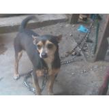 Perros Chihuahuas En Adopcion