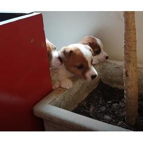 Cachorritos De Jack Russel ( Se Pueden Entregar En Bs As)