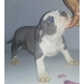 American Staffordshire Terrier, Fêmea Blue