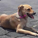 Adopcion Perrita Criolla Hembra Color Dorado Mascota Perro