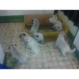 Cachorros Perros Venta Vendo Pastor Ganadero Australiano