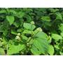 Stevia , Paq 12 Pz Incluye 3 Especies Diferentes
